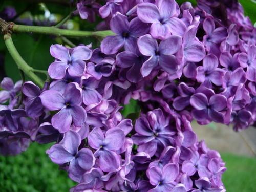 beautiful-lilac-flowers.jpg